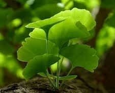 Ginko Sprouts