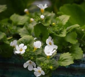 The Best Memory Supplements for Seniors - Bacopa Monnieri Flowers