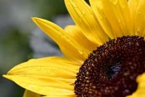 The Best Supplement for Brain Function and Memory - Mind Lab Pro - Sunflower