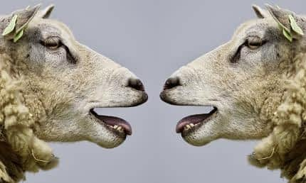 What's the Best Nootropic for Athletes - 2 Sheep Bleating at One Another