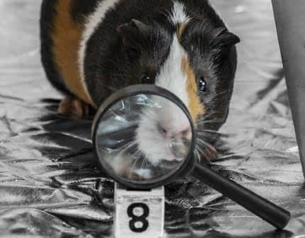 Is Noopept Bad - Guinea Pig behind Magnifying Glass