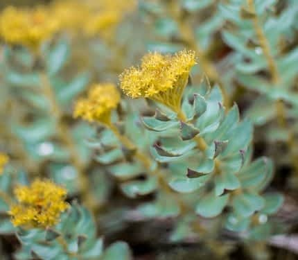 Best Nootropics for Studying - Rhodiola Rosea