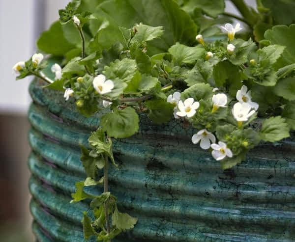 What is Bacopa Monnieri Good for - Bacopa Monnieri in Pot