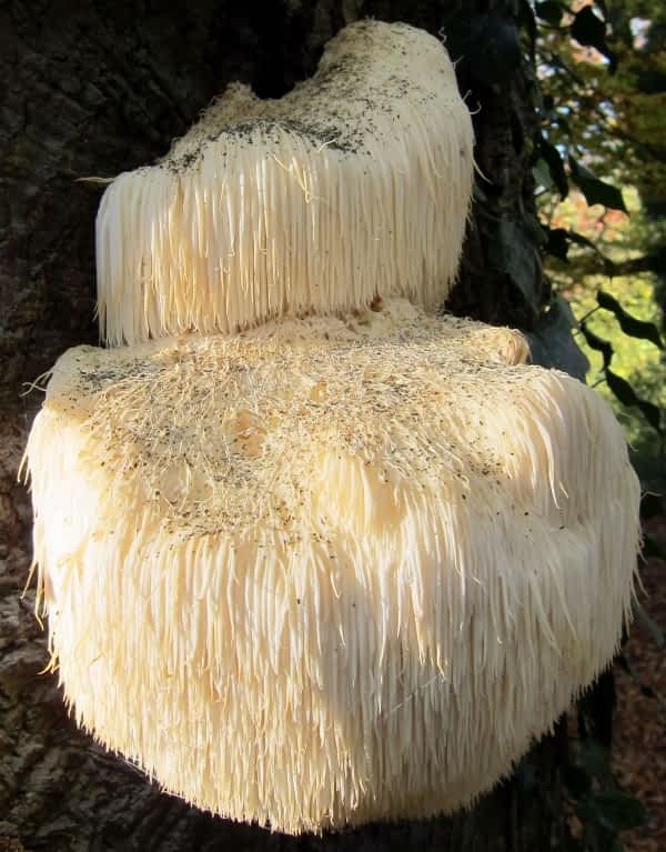 What is Lion's Mane Mushroom Good for - Wikimedia file - attributed to Henk Monster - cropped - Hericeum Erinaceus growing on tree